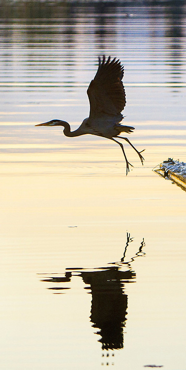 A Great Blue Heron takes flight from a dock near Husky Stadium on Lake Washington just before sunrise. (Mike Siegel / The Seattle Times)