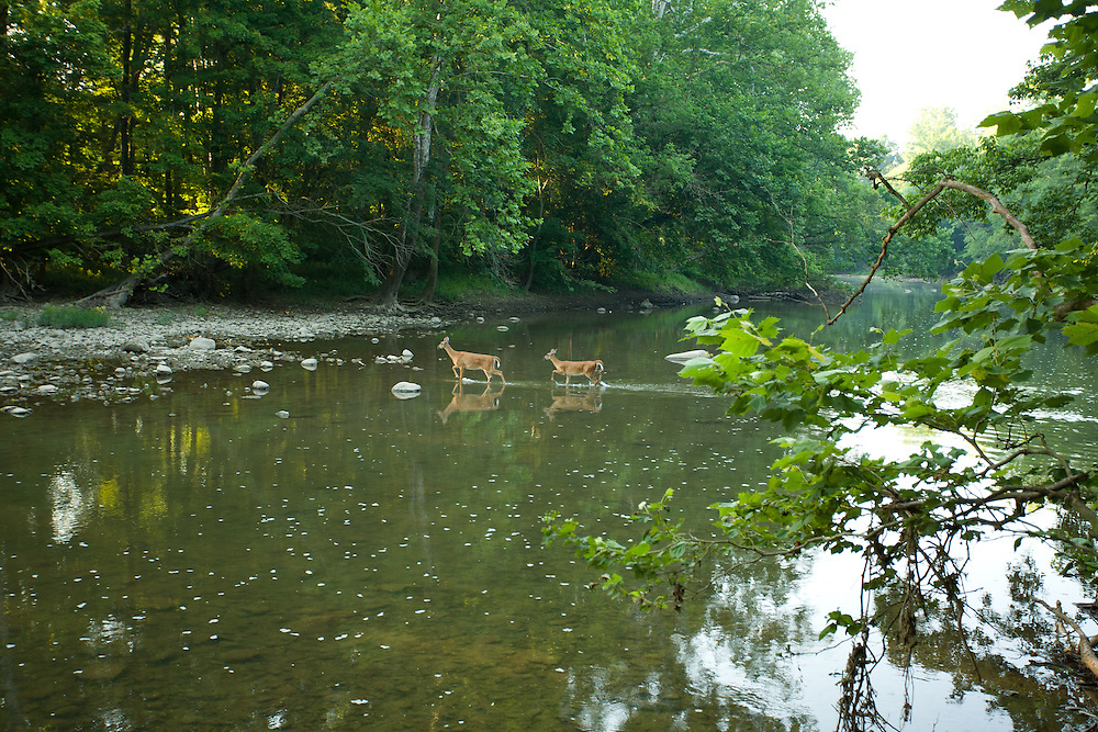 Two female white-tailed deer (does)  cross the Olentangy river in Central Ohio.