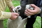 The judge checks the teeth of a Swaledale sheep at Farndale Show on 28th August 2017 in North Yorkshire, United Kingdom. Farndale Show is a small traditional agricultural show in the heart of the North York Moors photo by Tessa Bunney/In Pictures via Getty Images