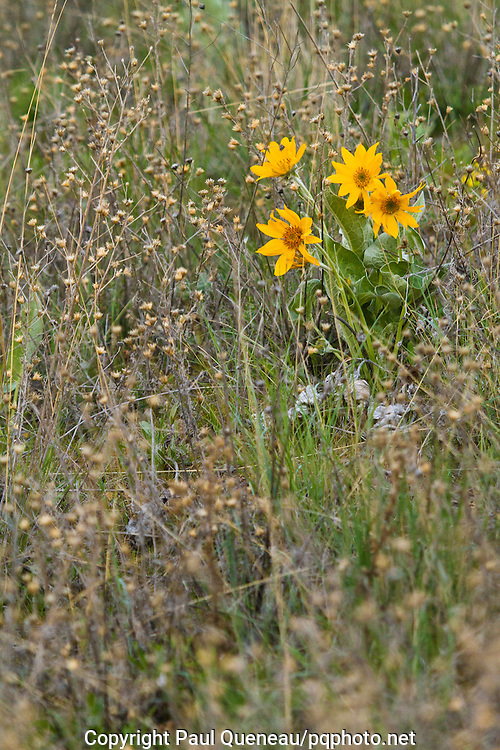 Spotted Knapweed surrounds the last vestages of native arrowleaf balsamroot plants, that along with other natives, this noxious weed has largely replaced.
