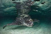 leatherback sea turtle, Dermochelys coriacea ( Critically Endangered species ), Parque Nacional Jaragua, Dominican Republic ( Caribbean Sea )