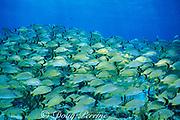 mixed grunts, Haemulon sp., <br /> Memory Rock, Little Bahama Bank<br /> Bahamas ( Western Atlantic Ocean )