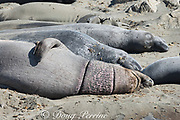 a male northern elephant seal, Mirounga angustirostris, on the beach for its annual molt, displays ring scars from encircling debris, possibly caused by monofilament fishing net or by packing straps from bait boxes, Piedras Blancas, near San Simeon, California, United States ( Eastern Pacific Ocean )