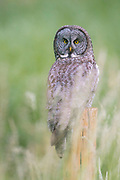 A great grey owl (Strix nebulosa) looks for food from its perch in the Blue Mountains of Washington state. The great grey owl, also spelled great gray owl, is the world's largest owl by length.
