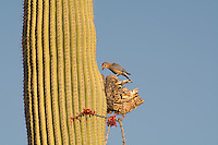 An iconic and noisy bird of the Sonoran Desert, this Gila woodpecker was busy drilling into the dead section of a saguaro cactus early in the morning in Pima County, Arizona.