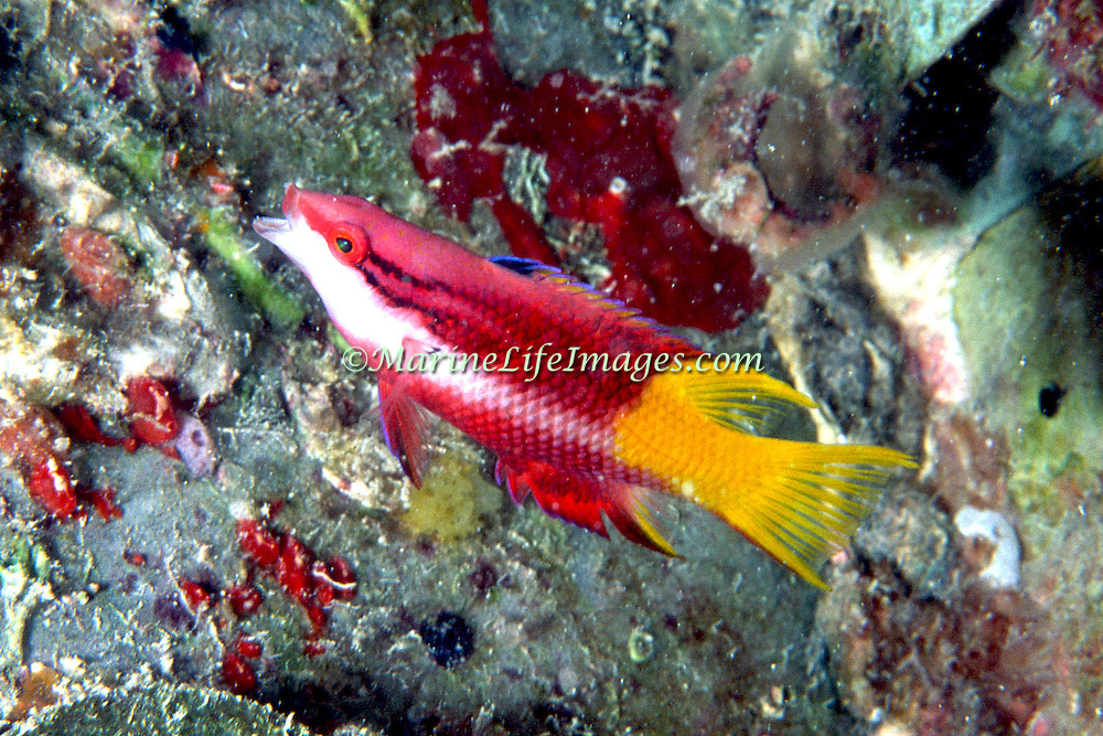 Spotfin Hogfish constantly swim about reefs in Tropical West Atlantic; picture taken Miami, FL.