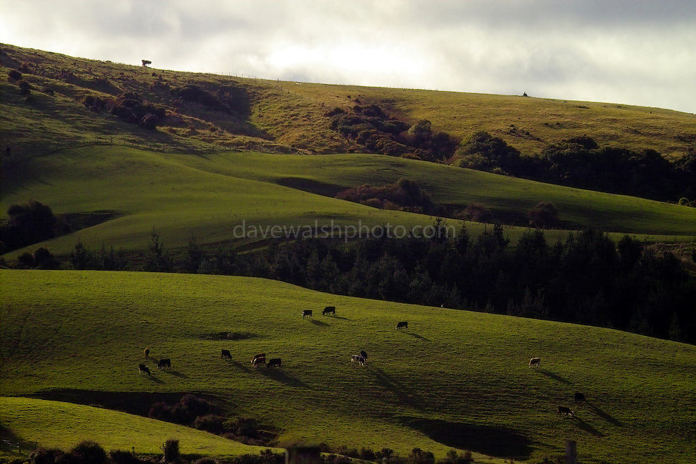 Hills in the Catlins, near Cannibal Bay, New Zealand, with grazing cattle...