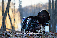00845-01120 Eastern Wild Turkey (Meleagris gallopavo silvestris) gobblers strutting, Stephen A. Forbes SP,  Marion Co.  IL