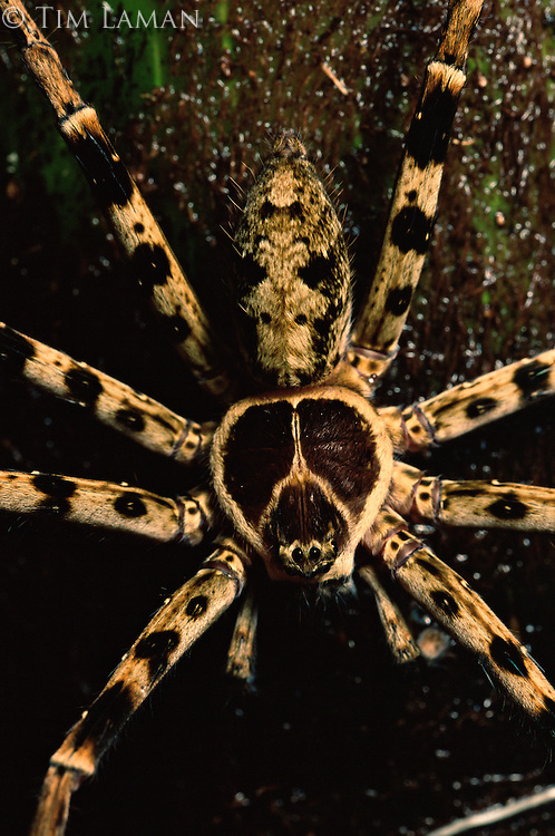 A close-up of a Huntsman spider in the rain forest Sierra Madre National Park, Luzon, Philippines.  Sep 01.