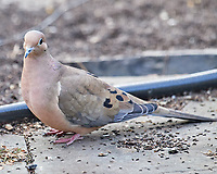 Mourning Dove (Zenaida macroura).  Image taken with a Nikon D5 camera and 600 mm f/4 VR lens.