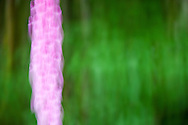 A spike of foxglove flowers is abstracted by camera motion rendering the scene surreal.