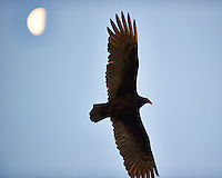 Turkey Vulture and the Moon. Backyard Autumn Nature in New Jersey. Image taken with a Nikon D3s camera and 300 mm f/2.8 VR lens (ISO 1600, 300 mm, f/2.8, 1/1000 sec).