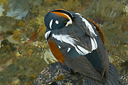Harlequin duck (Histrionicus histrionicus) in Maligne River<br />Jasper National Park<br />Alberta<br />Canada