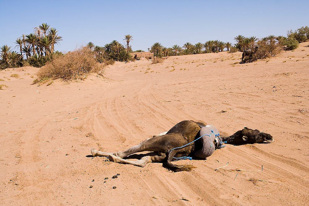 A dead camel lies in the sand over jeep tire tracks in the desert outside of M'hamid in the Moroccan Sahara. The region of Ouarzazate and the Draa Valley is suffering from an extended drought that by some accounts has extended sixteen years.