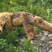Red Fox, (Vulpus fulva)  Aleutian Islands. Alaska.