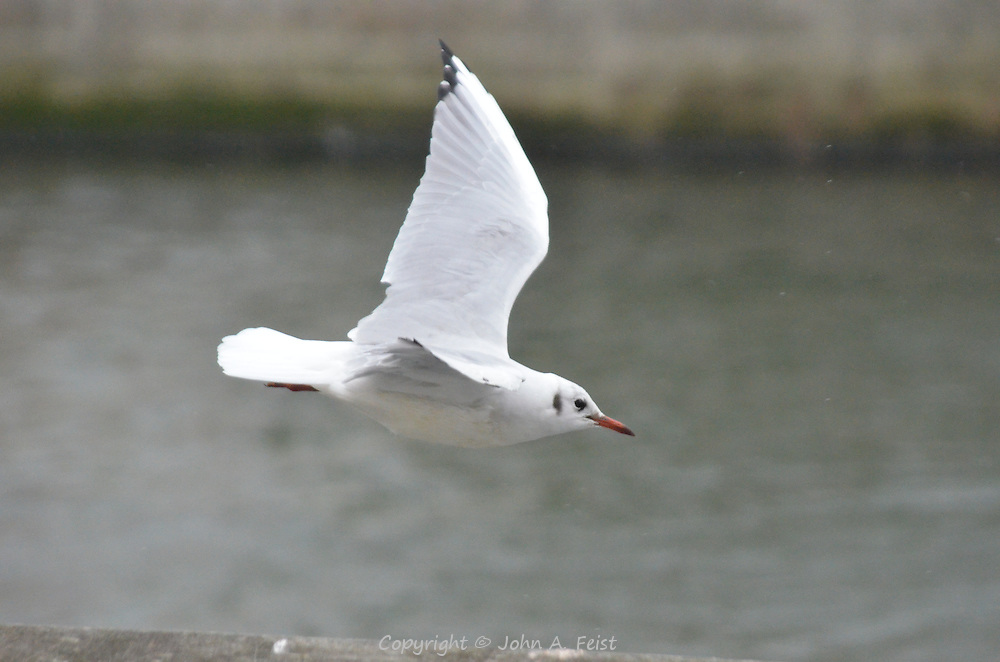 A seagull in fight along the river Liffey in Dublin, Ireland