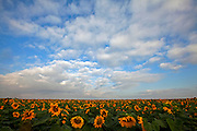 sunflowers in a field Photographed in Israel in May