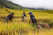 Three women, two daughters and their mother, work under a cloudy sky as they harvest the Fall rice crop. After cutting the stalks, they beat them against a tarp to make the rice kernels fall off. Robert Dodge, a Washington DC photographer and writer, has been working on his Vietnam Unexpected project since 2005. The project has taken him throughout Vietnam, including Hanoi, Ho Chi Minh City (Saigon), Nha Trang, Mue Nie, Phan Thiet, the Mekong, Sapa, Ninh Binh and the Perfume Pagoda. His images capture scenes and people from women in conical hats planting rice along the Red River in the north to men and women working in the floating markets one the Mekong River and its tributaries. Robert's project also captures the traditions of ancient Asia in the rural markets, Buddhist Monasteries and the celebrations around Tet, the Lunar New Year. Also to be found are images of the emerging modern Vietnam, such as young people eating and drinking and embracing the fashions and music of the west. Robert Dodge, a Washington DC photographer and writer, has been working on his Vietnam Unexpected project since 2005. The project has taken him throughout Vietnam, including Hanoi, Ho Chi Minh City (Saigon), Nha Trang, Mue Nie, Phan Thiet, the Mekong, Sapa, Ninh Binh and the Perfume Pagoda. His images capture scenes and people from women in conical hats planting rice along the Red River in the north to men and women working in the floating markets one the Mekong River and its tributaries. Robert's project also captures the traditions of ancient Asia in the rural markets, Buddhist Monasteries and the celebrations around Tet, the Lunar New Year. Also to be found are images of the emerging modern Vietnam, such as young people eating and drinking and embracing the fashions and music of the West.