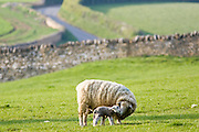 Sheep nursing her lamb, Chedworth, Gloucestershire, United Kingdom