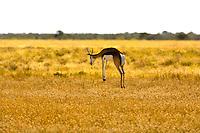 A Springbok pronking (jumping), Etosha National Park, Namibia
