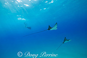 Pacific whitespotted eagle rays or Pacific eagle ray, Aetobatus laticeps, and free-diving photographer, Black Rock, West Maui, Hawaii, USA ( Central Pacific Ocean ) MR 523