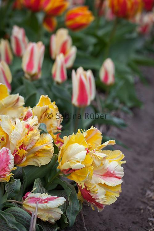 Tulipa 'Zampa Parrot' - Greigii (2000)