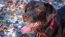 GERMANY BERLIN 28DEC14 - Walking Milli, the Labrador dog in a park in Pankow, Berlin.<br /> <br /> jre/Photo by Jiri Rezac<br /> <br /> <br /> © Jiri Rezac 2014