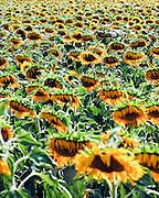 Israel, Field of yellow sunflowers