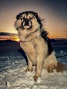 Muff, Kiwi husky at Scott base, spring sunset, Ross Island, McMurdo Sound, Antarctica