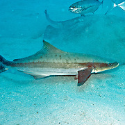 Costal open water fish cirumtropical and subtropical, occasional over reefs. from time to time hunt for prey on areas of sand; picture taken Jupiter, FL.