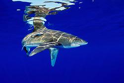 oceanic whitetip shark, Carcharhinus longimanus, with remora, Big Island, Hawaii, Pacific Ocean