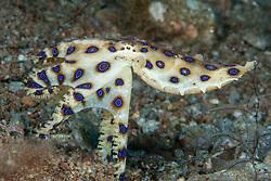 Blue Ringed Octopus, Hapalochlaena lunulata, putting on a brilliant display.  Dumaguete, Dauin, Negros, Philippines, Pacific Ocean