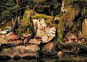 South American sea lions, Otaria flavescens, breeding colony on edge of deep beech forest, Isla Hoste, Tierra del Fuego, Chile.