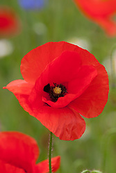 Common Field Poppy - Papaver rhoeas