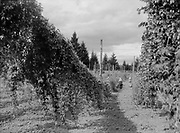 9969-2039. Looking down the rows of hops on Riverside Hop Farm. September 12, 1935. Riverside Hop farm, owned by A.J. Ray and Son, Inc., Newberg, Oregon.