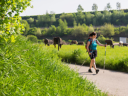 Woman hiking on asphalt road through meadow with cows grazing near Eichstetten, Baden-Wuerttemberg, Germany