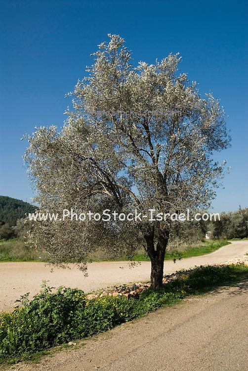 Israel Galilee Olive tree