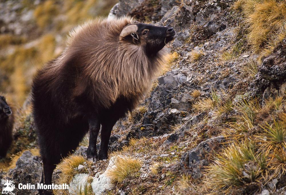 Tahr (Hemitragus jemlahicus) bull starting to show full neck ruff display, Macaulay Valley, New Zealand