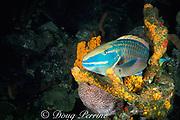 stoplight parrotfish, Sparisoma viride, <br /> terminal male asleep in sponge<br /> St. Kitts ( Caribbean Sea )