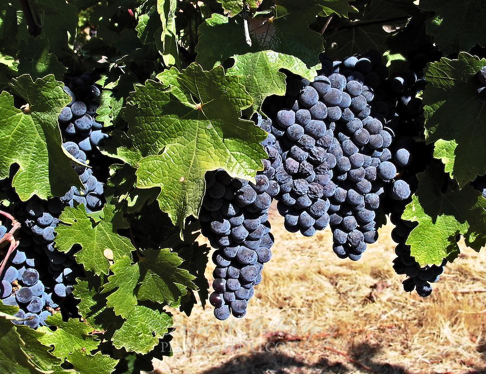 Wine Grape Cluster - Paso Robles