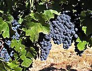 Wine Grapes ~ Various