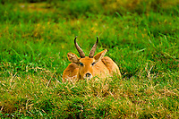 Reedbok, Amboseli National Park, Kenya