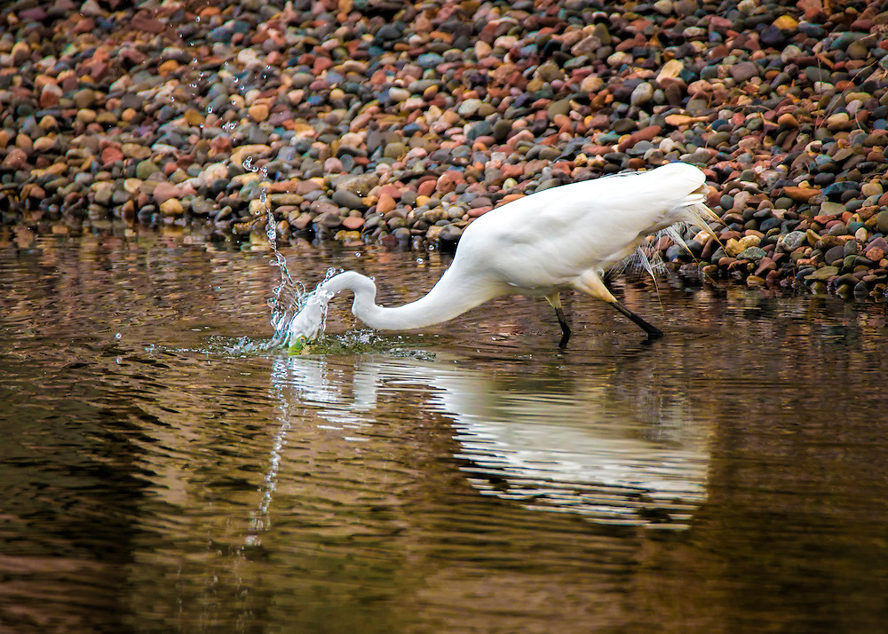 A Great Egret Peeks Under The Water For A Meal