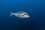 Common dentex-Denté commun, denti (Dentex dentex) of mediterranean sea.