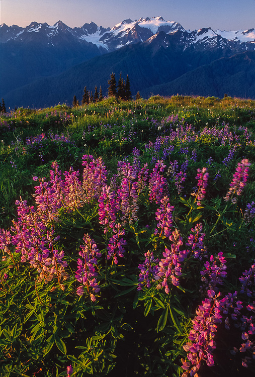 Viewv from High Dividel, morning light, lupine and Mount Olympus, Olympic National Park, Washington, USA