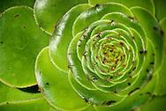 Aeonium Undulatam in Kew Gardens