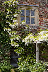 Wisteria venusta growing over a pergola by the Priest's House at Sissinghurst Castle Garden
