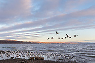 Canada geese fly over seagulls in a morning view of the Hudson River from Donahue Park in Cornwall-on-Hudson, N.Y., on Jan.29, 2020.