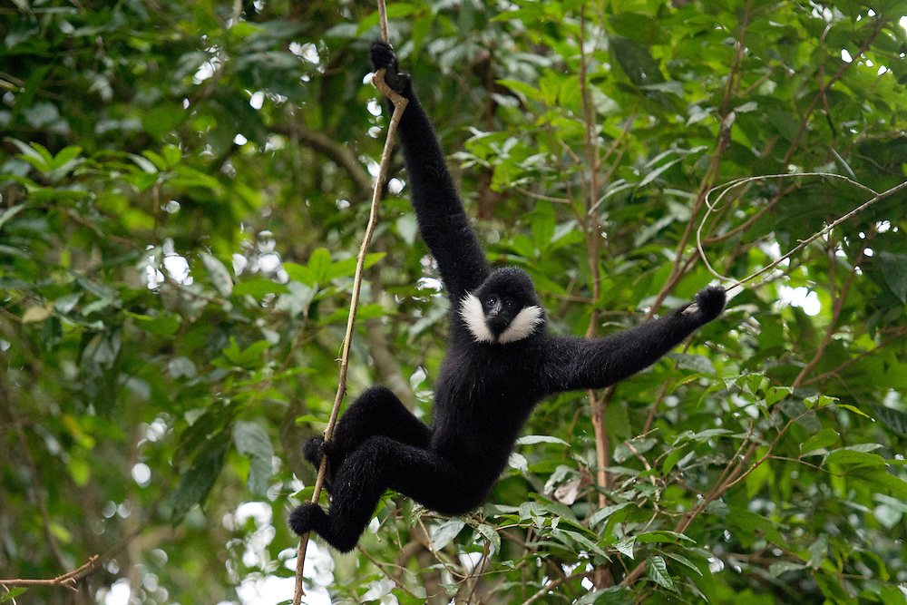 Northern white-cheeked gibbon (Nomascus leucogenys), adult male, Xishuangbanna National Park, Yunnan, China. Critically endangered, less than 600 estimated to survive in the world, mainly in Vietnam, Laos and a few in Yunnan. This individual lives in the free.