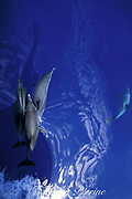 Atlantic spotted dolphins, Stenella frontalis, bowriding in front of sailboat,  Azores Islands, Portugal ( North Atlantic Ocean )